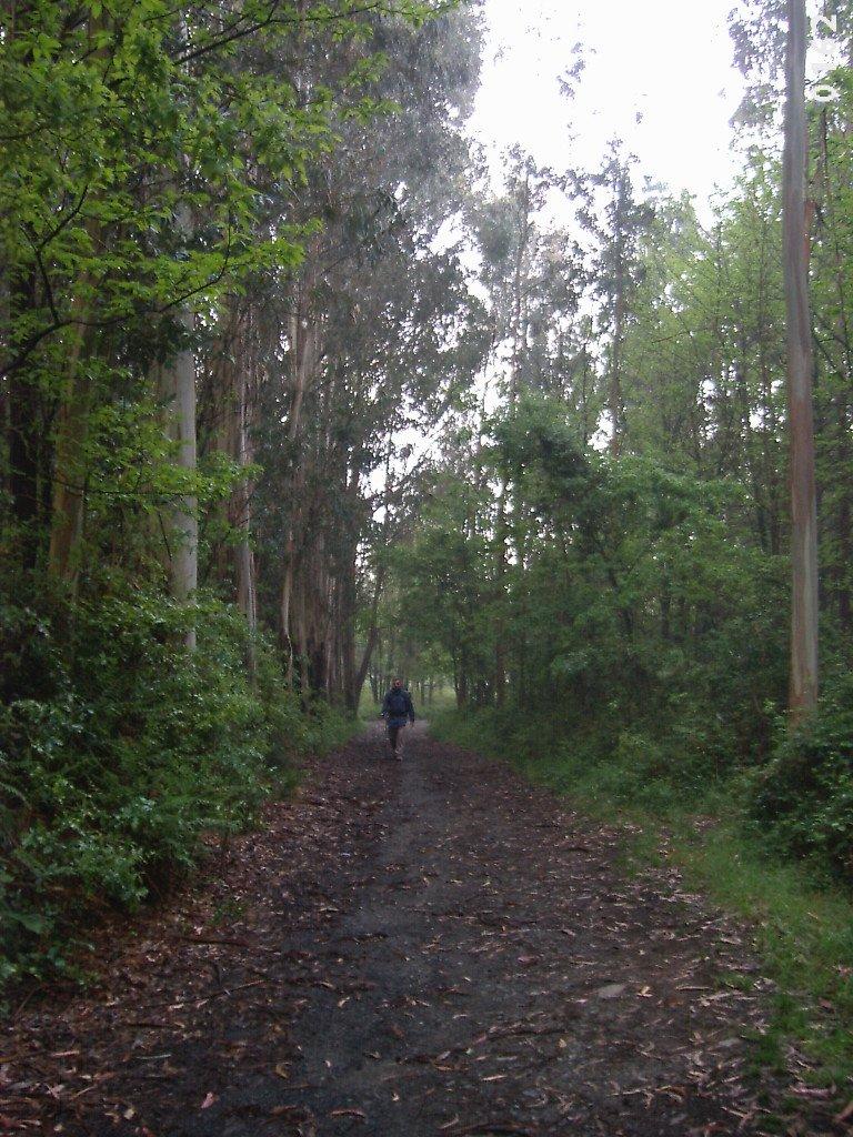 Pepe caminando por un bosque de eucaliptos