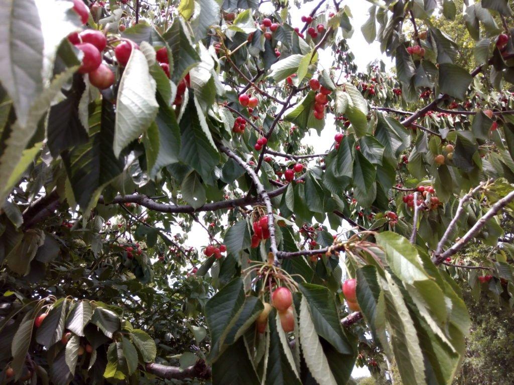 Un cerezo en el camino