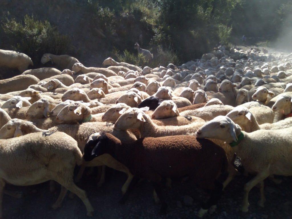 Contando ovejitas, pero perdí la cuenta