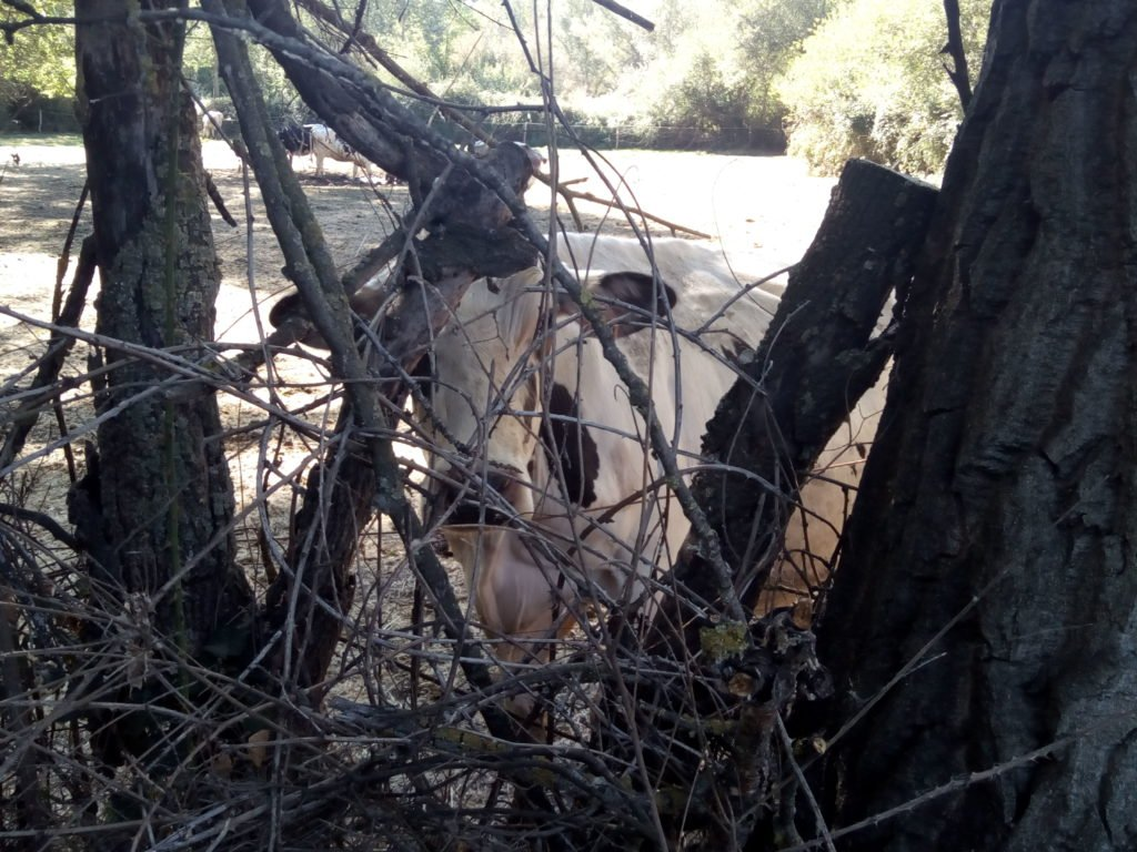 Una vaca contando peregrinos