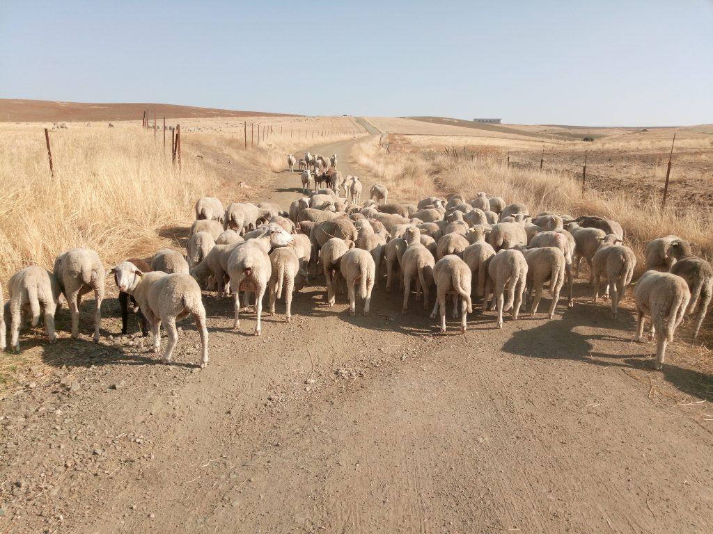 Unas ovejitas tapando el paso