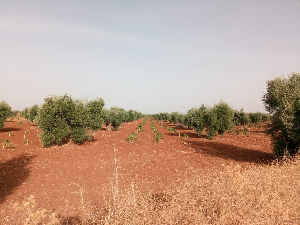 Fila de olivos, tres de vides