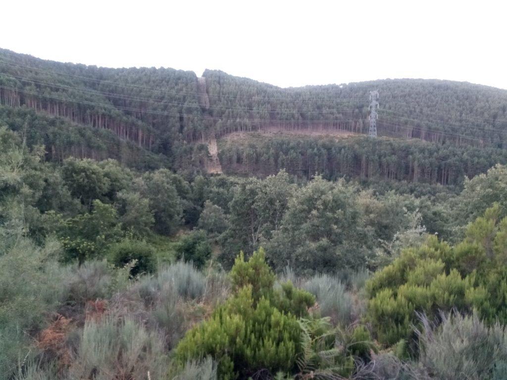 Bosques de eucaliptos